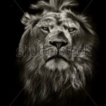 stock-photo-graphic-black-and-white-lion-portrait-on-black-120894148