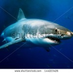 stock-photo--great-white-shark-underwater-photo-144223426
