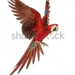 stock-photo-green-winged-macaw-ara-chloropterus-year-old-flying-in-front-of-white-background-129934385