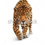 stock-photo-jaguar-panther-front-view-isolated-on-white-shadow-the-same-over-black-image-id-75989233