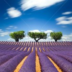 stock-photo-lavender-fields-of-the-french-provence-113890351