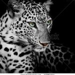 stock-photo-leopard-portrait-153963224