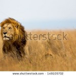 stock-photo-mighty-lion-watching-the-lionesses-who-are-ready-for-the-hunt-in-masai-mara-kenya-149105702