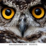 stock-photo-owls-are-the-order-strigiformes-constituting-extant-bird-of-prey-species-most-are-solitary-65345731