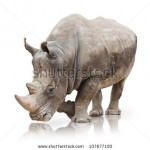 stock-photo-portrait-of-a-rhinoceros-on-white-background-107677100