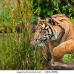 stock-photo-portrait-of-sumatran-tiger-panthera-tigris-sumatrae-big-cat-in-captivity-109348886