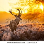 stock-photo-red-deer-in-morning-sun-120562819
