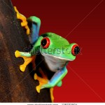 stock-photo-red-eye-tree-frog-agalychnis-callidryas-in-terrarium-128702504