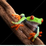 stock-photo-red-eyed-tree-frog-at-night-in-tropical-rainforest-treefrog-agalychnis-callydrias-in-jungle-costa-94165480