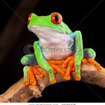 stock-photo-red-eyed-tree-frog-at-night-in-tropical-rainforest-treefrog-agalychnis-callydrias-in-jungle-costa-94184425