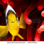 stock-photo-red-sea-clownfish-with-bright-red-sea-anemone-138476504