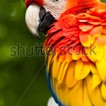 stock-photo-scarlet-macaw-ara-macao-146405453