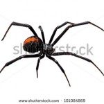 stock-photo-spider-redback-or-black-widow-latrodectus-hasselti-isolated-on-white-101084869
