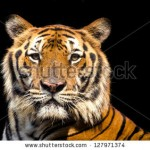 stock-photo-tiger-127971374