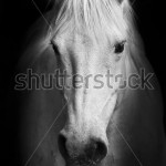 stock-photo-white-horse-s-black-and-white-art-portrait-85054525