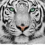 stock-photo-white-tiger-28671337