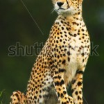 stock-photo-wild-african-cheetah-portrait-beautiful-mammal-animal-endangered-carnivore-africa-kenya-masai-87172567